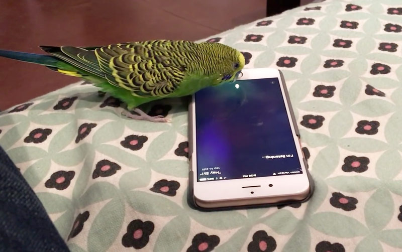 The American has taught the parrot to call up Siri [video]